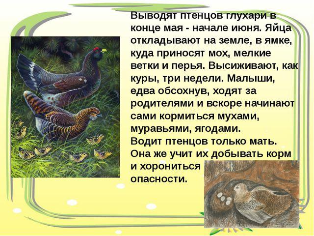 Выводят птенцов глухари в конце мая - начале июня. Яйца откладывают на земле,...