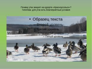 Почему утки зимуют на курорте «Красноусольск»? Гипотеза: для уток есть благоп