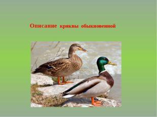 Описание кряквы обыкновенной