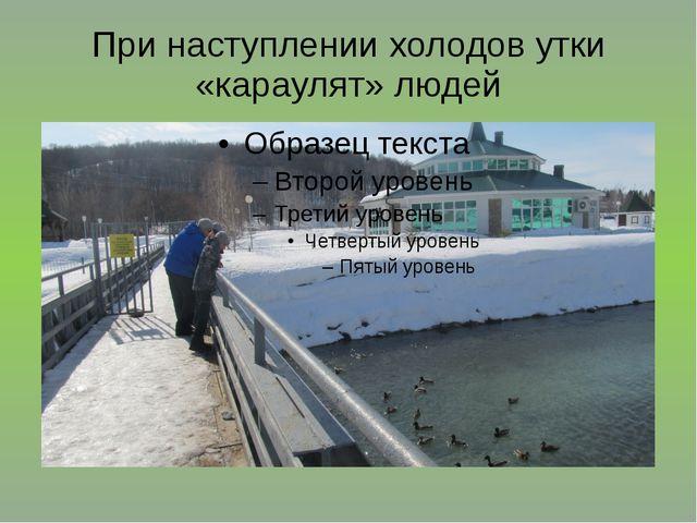 При наступлении холодов утки «караулят» людей