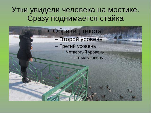 Утки увидели человека на мостике. Сразу поднимается стайка