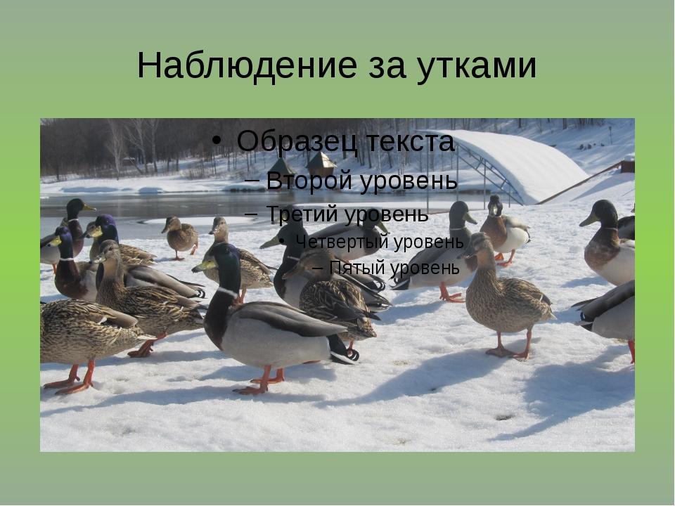 Наблюдение за утками
