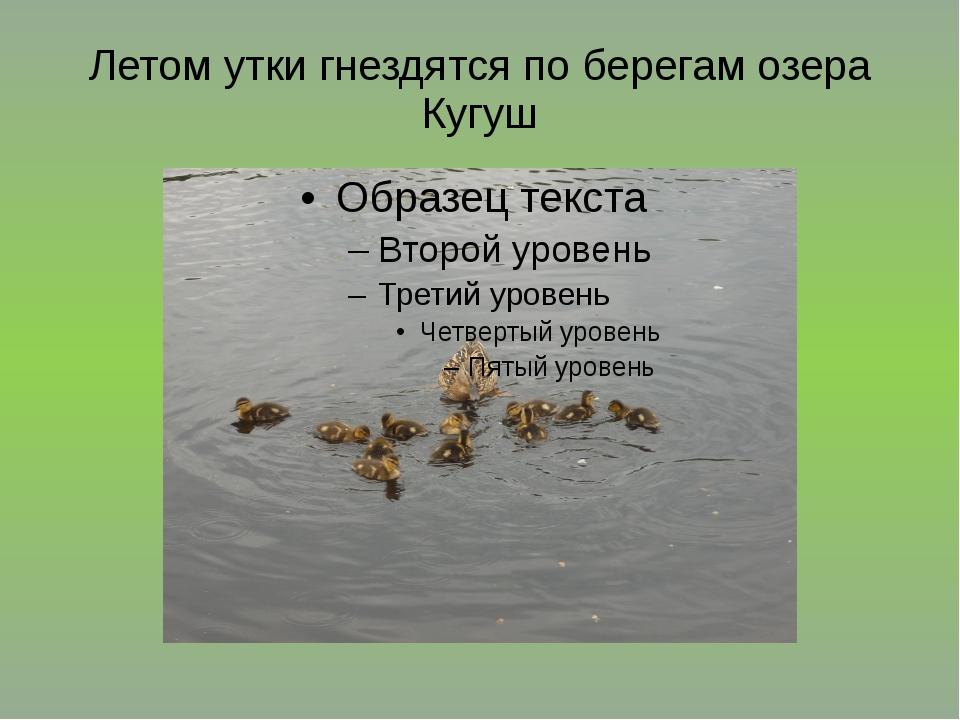 Летом утки гнездятся по берегам озера Кугуш