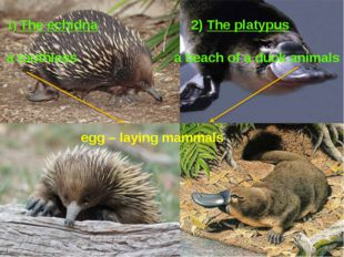 1) The echidna 2) The platypus a toothless a beach of a duck animals egg – l