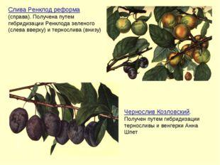 Слива Ренклод реформа (справа). Получена путем гибридизации Ренклода зеленого