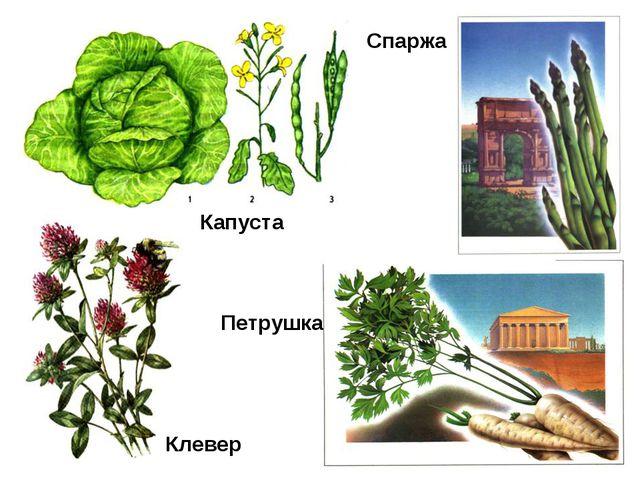 Капуста Клевер Спаржа Петрушка