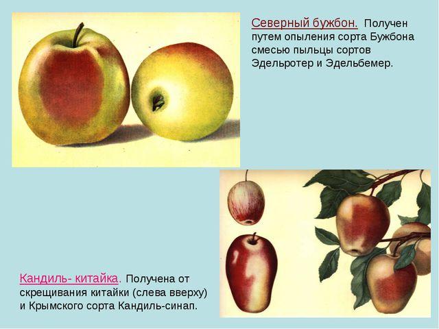 Кандиль- китайка. Получена от скрещивания китайки (слева вверху) и Крымского...