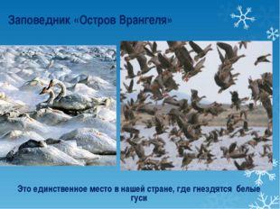 Это единственное место в нашей стране, где гнездятся белые гуси Заповедник «О