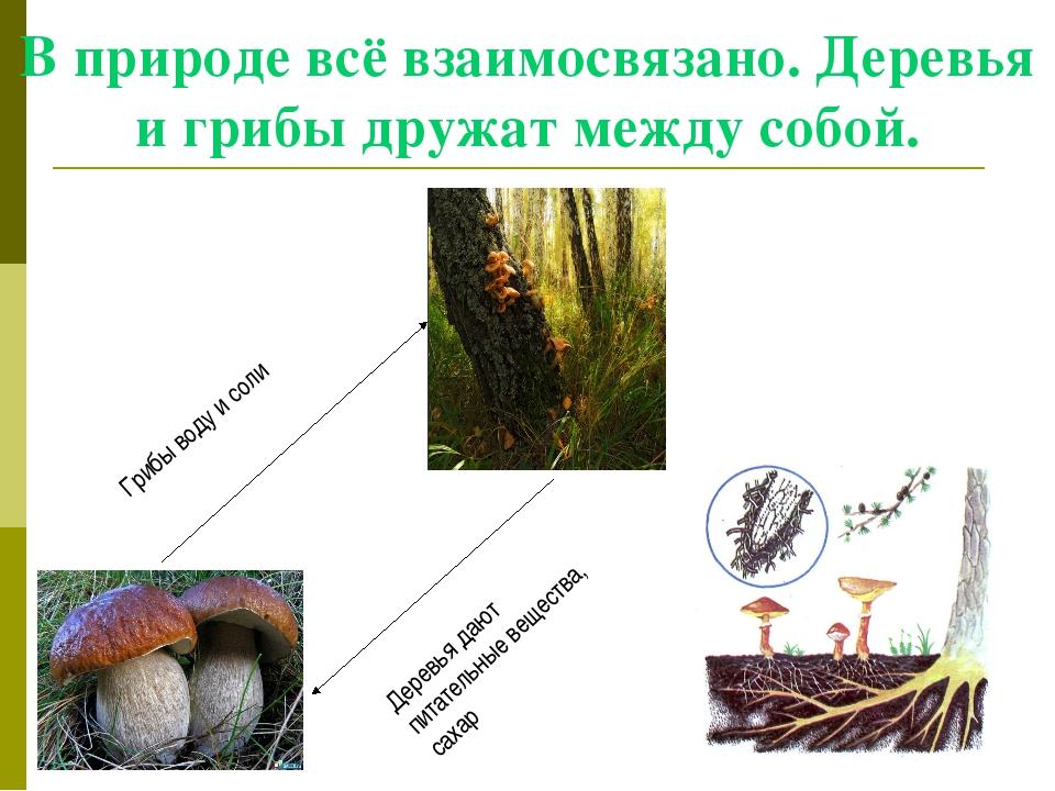 В природе всё взаимосвязано. Деревья и грибы дружат между собой. Грибы воду и...