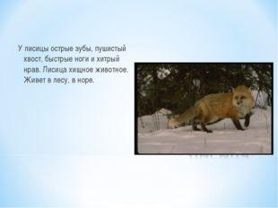У лисицы острые зубы, пушистый хвост, быстрые ноги и хитрый нрав. Лисица хищн