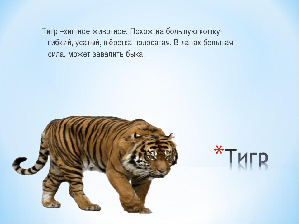 Тигр –хищное животное. Похож на большую кошку: гибкий, усатый, шёрстка полоса...