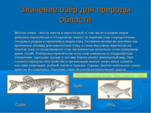 Значение озёр для природы области Многие озера – места нагула и нереста рыб,