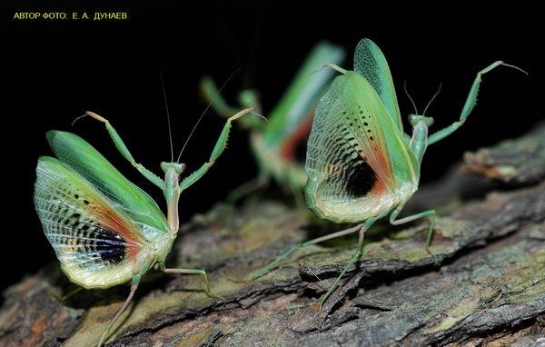 Пятнистокрылый богомол (Iris polystictica) или, богомол испещренный, пятнистый