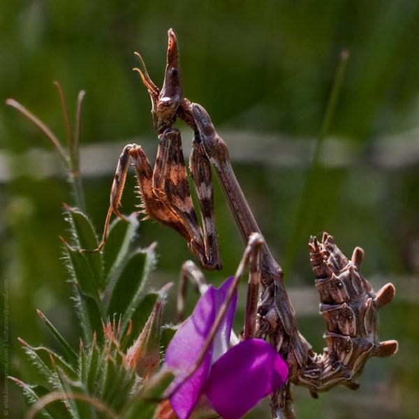 Эмпуза полосатая (Empusa fasciata)