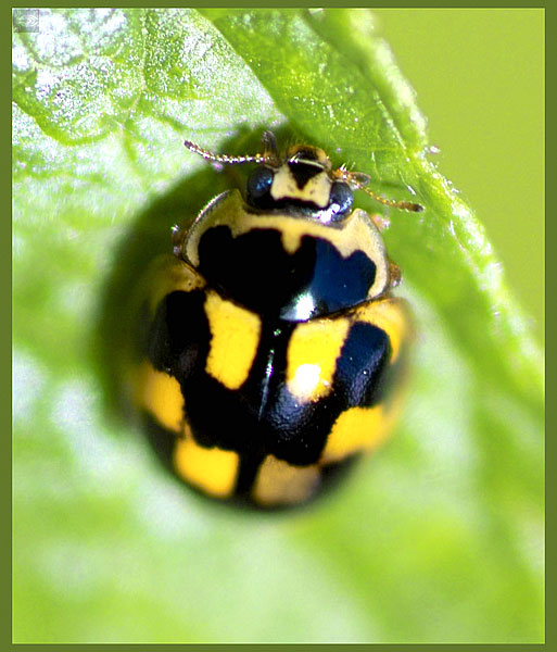 http://coleop123.narod.ru/coleoptera/Coccinellidae/Propylea_quatuordecimpunctata_big.jpg