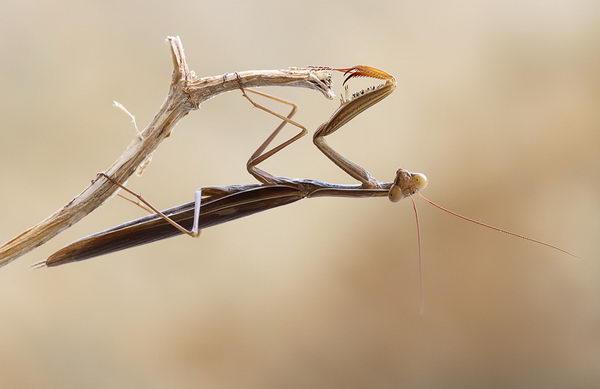 Mantis religiosa (Богомол обыкновенный)