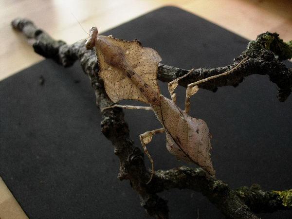 Малазийский листовидный богомол (Deroplatys dessicata)