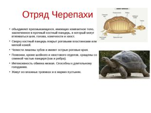 Отряд Черепахи объединяет пресмыкающихся, имеющих компактное тело, заключенно