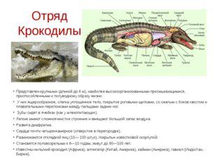 Отряд Крокодилы Представлен крупными (длиной до 6 м), наиболее высокоорганизо