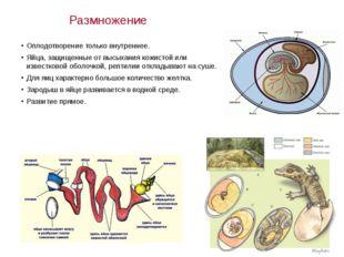 Размножение Оплодотворение только внутреннее. Яйца, защищенные от высыхания к