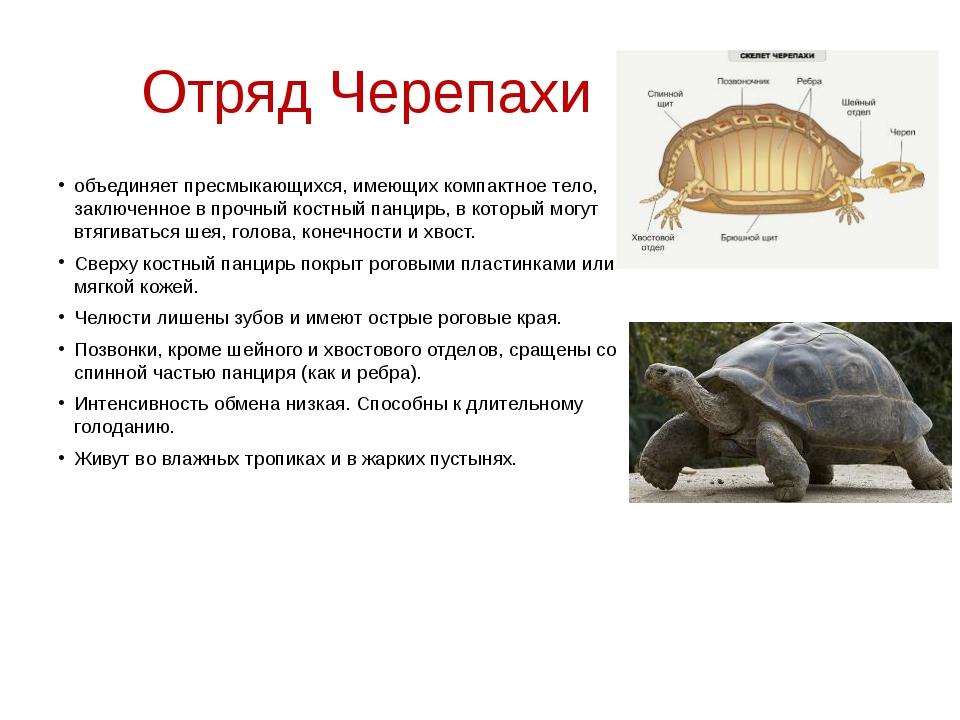 Отряд Черепахи объединяет пресмыкающихся, имеющих компактное тело, заключенно...