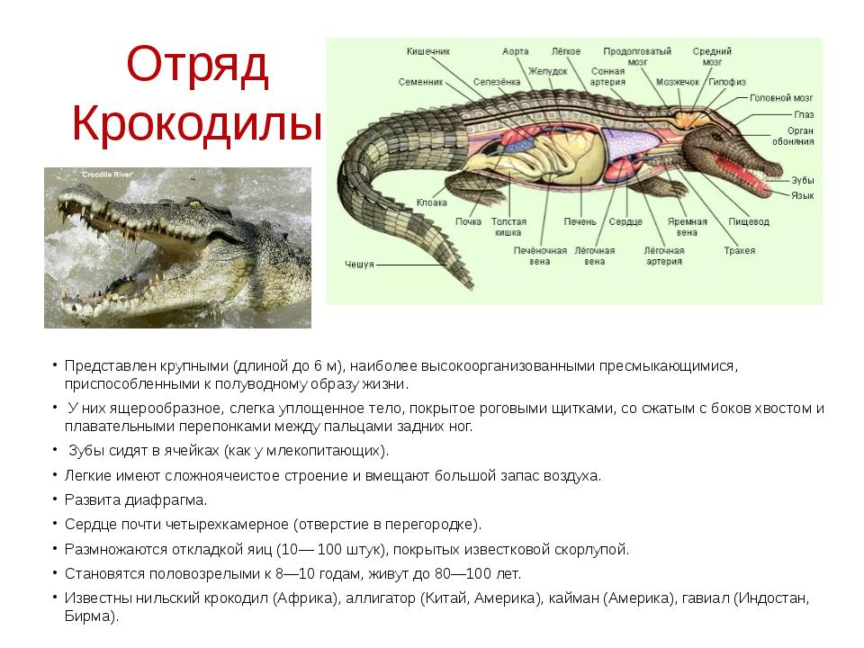 Отряд Крокодилы Представлен крупными (длиной до 6 м), наиболее высокоорганизо...