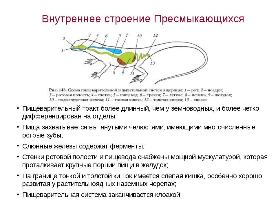 Внутреннее строение Пресмыкающихся Пищеварительный тракт более длинный, чем у...