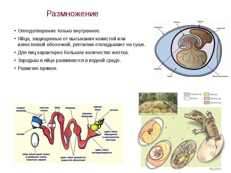 Размножение Оплодотворение только внутреннее. Яйца, защищенные от высыхания к...