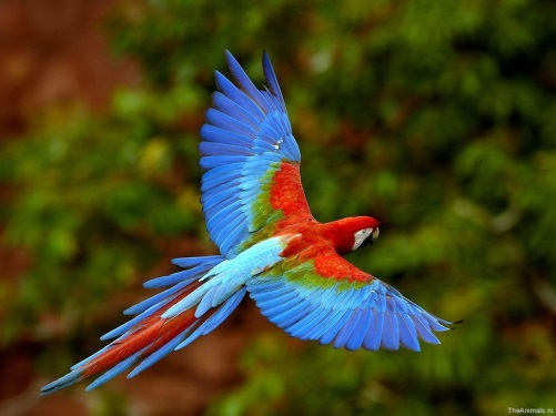 http://data.lact.ru.s3.amazonaws.com/f1/s/23/514/image/1521/559/medium_Red_and_Green_Macaw_in_Flight__Brazil.jpg