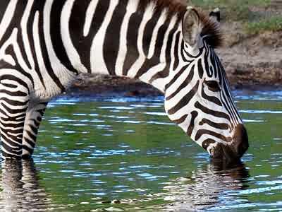 http://www.jigzone.com/p/jz/jzI/Zebra_Drink_2238.jpg