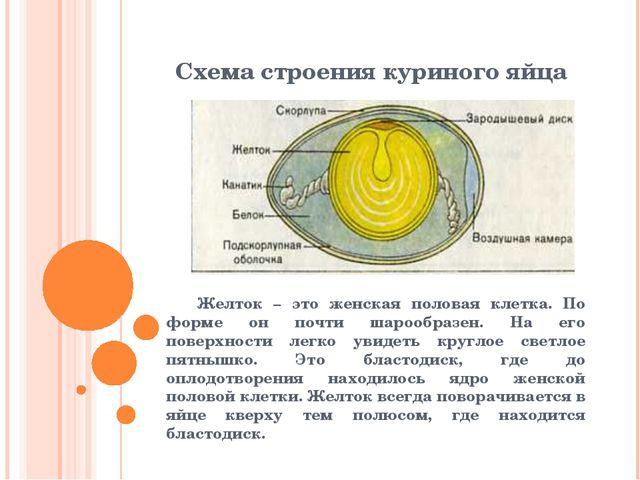 Схема строения куриного яйца Желток – это женская половая клетка. По форме о...
