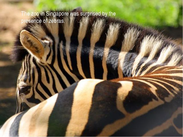 The zoo in Singapore was surprised by the presence of zebras.