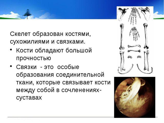 Скелет образован костями, сухожилиями и связками. Кости обладают большой про...