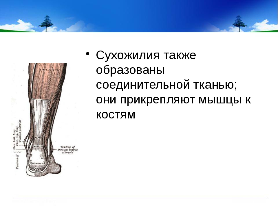 Сухожилия также образованы соединительной тканью; они прикрепляют мышцы к ко...