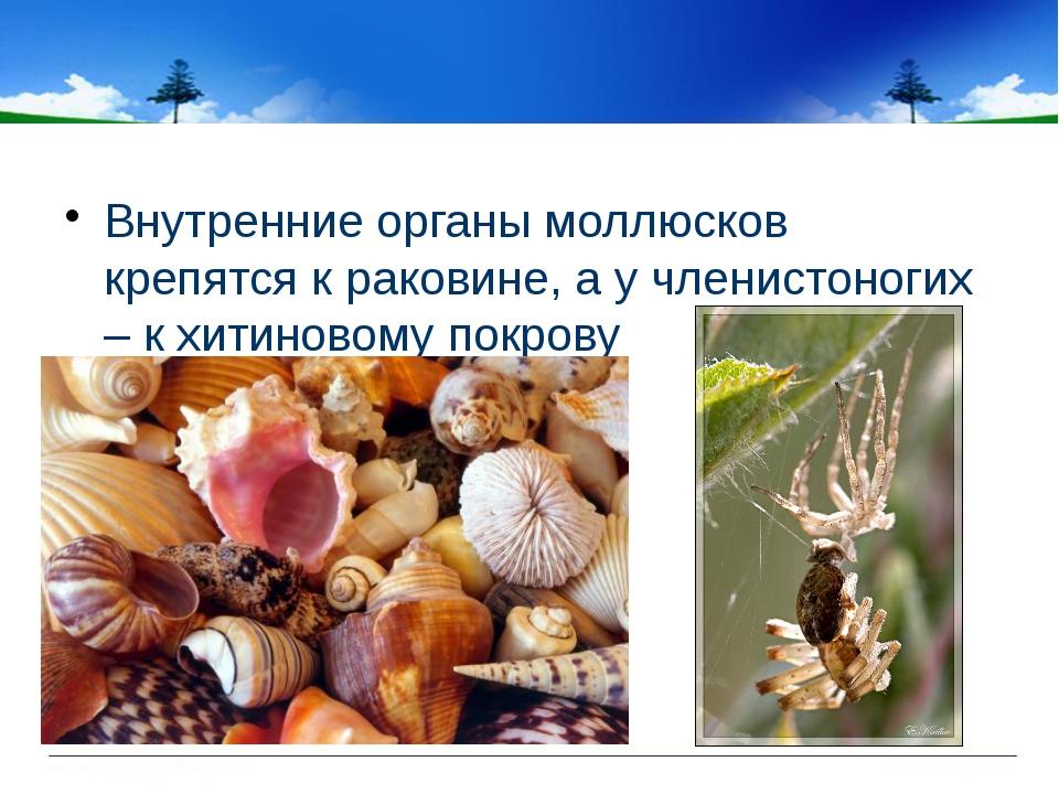 Внутренние органы моллюсков крепятся к раковине, а у членистоногих – к хитин...