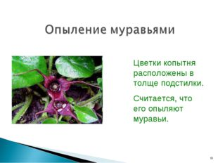 Цветки копытня расположены в толще подстилки. Считается, что его опыляют мура