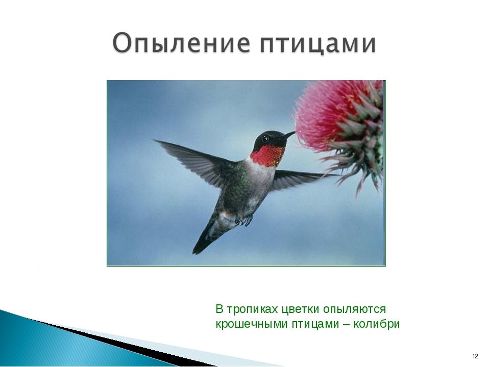 В тропиках цветки опыляются крошечными птицами – колибри *