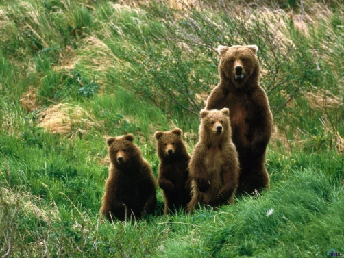 http://wallpapernature.net/wallpapers/7/bear-with-family-1400x1050.jpg