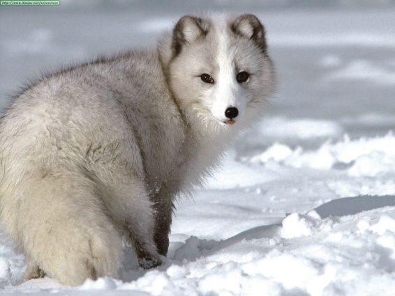 http://topnews.in/law/files/arctic-fox.jpg