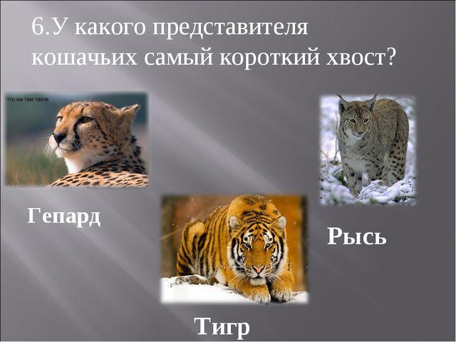 Гепард Рысь Тигр 6.У какого представителя кошачьих самый короткий хвост?