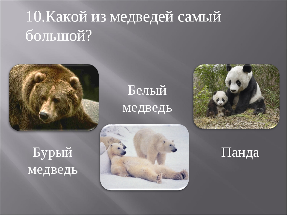 Бурый медведь Белый медведь Панда 10.Какой из медведей самый большой?