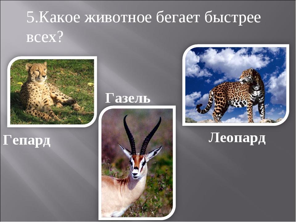 Гепард Газель Леопард 5.Какое животное бегает быстрее всех?