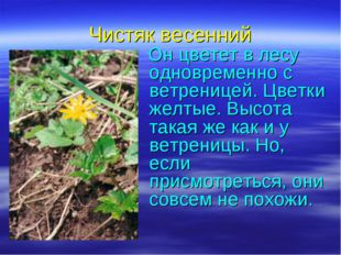 Чистяк весенний Он цветет в лесу одновременно с ветреницей. Цветки желтые. Вы