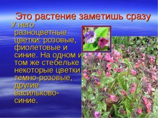Это растение заметишь сразу У него разноцветные цветки: розовые, фиолетовые и