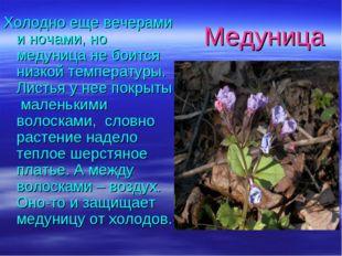 Медуница Холодно еще вечерами и ночами, но медуница не боится низкой темпера