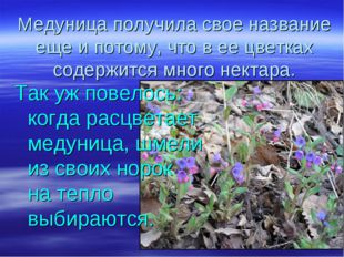 Медуница получила свое название еще и потому, что в ее цветках содержится мно