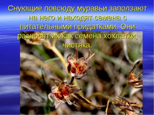 Снующие повсюду муравьи заползают на него и находят семена с питательными при