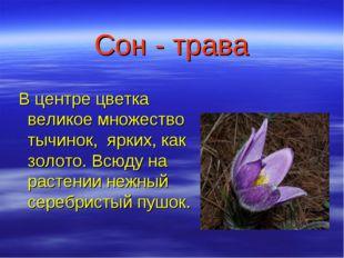 Сон - трава В центре цветка великое множество тычинок, ярких, как золото. Всю