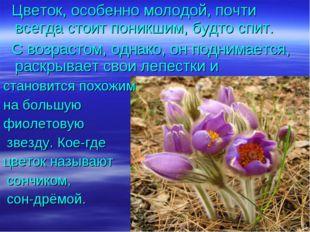 Цветок, особенно молодой, почти всегда стоит поникшим, будто спит. С возраст