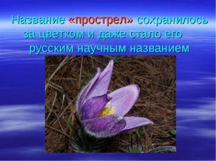 Название «прострел» сохранилось за цветком и даже стало его русским научным н